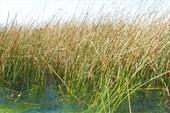 Тростник в озере Титикака