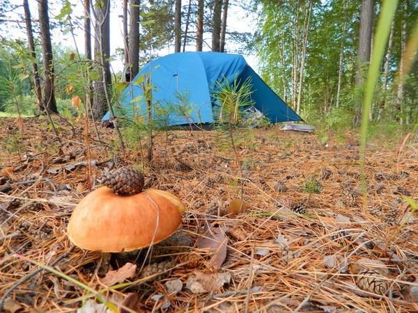 Грибы рядом с палаткой.