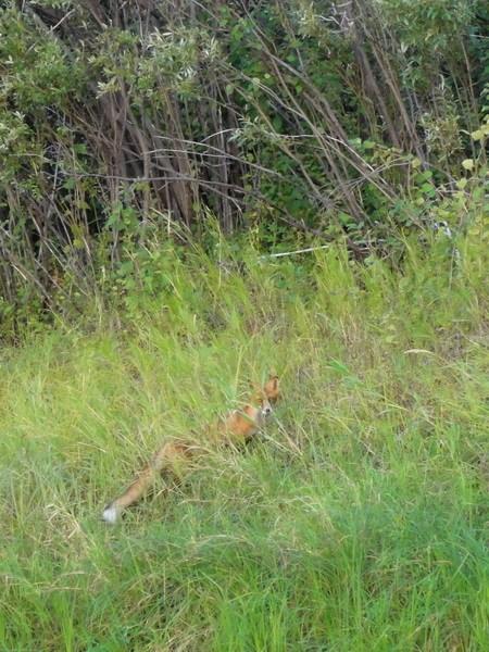 Любопытная лиса.