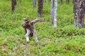 Лесной дух