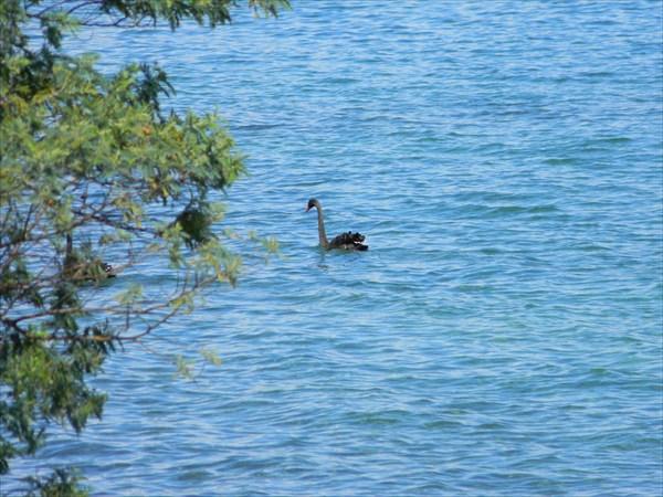 Озеро Taupo и лебедь