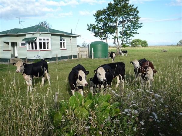 Новозеландские коровы
