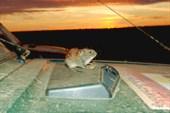 Терский берег. Терская мышка.