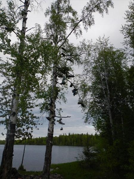 Кедовое дерево