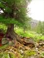Дерево на камнях