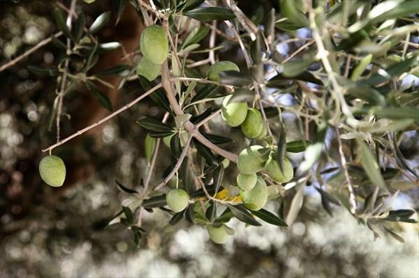 Маслины 2015-09-14--13-28-14_hf