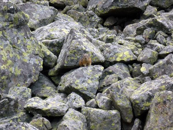 Пищуха маскируется среди камней.