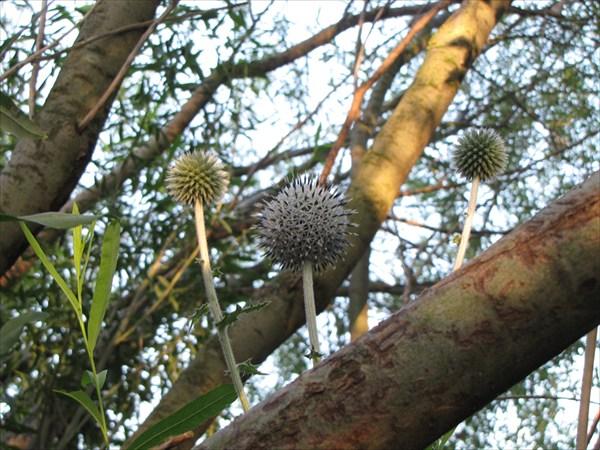 Колючки среди ветвей