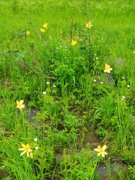 Желтые лилии.