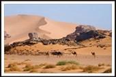Дикие верблюды Сахары