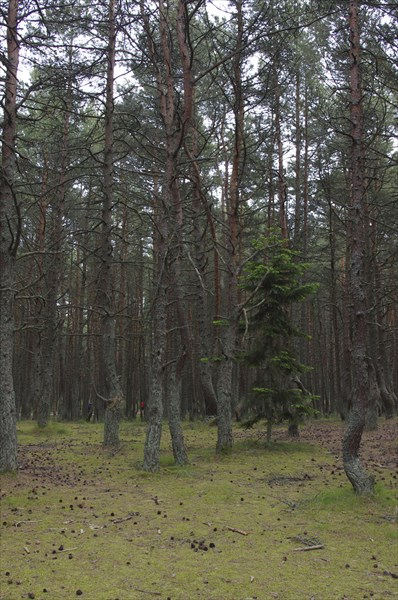 Куршская коса 4 (танцующий лес)