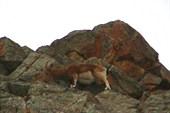Горные козлы - Capra Sibirica