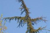 елка-крест