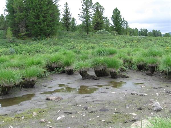 Кочки на пересохшем болотце