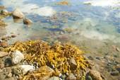 Фукусы на отливе
