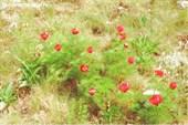 Дикие пионы на плато Чатыр-Дага