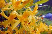 Рододендрон желтый, ароматный