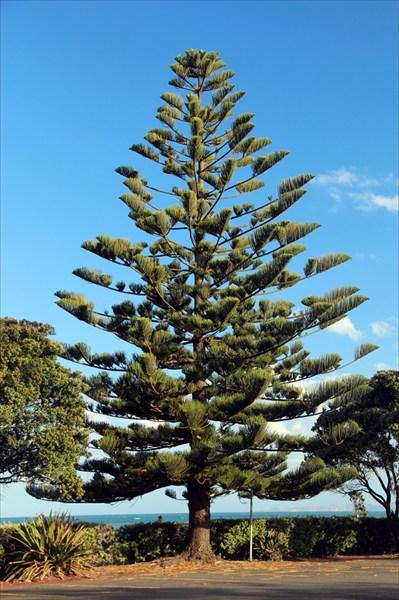 """Местные называют это дерево """"monkey tail tree"""""""