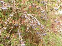 Черноплодный барбарис