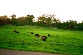 Парк с бизонами в городе