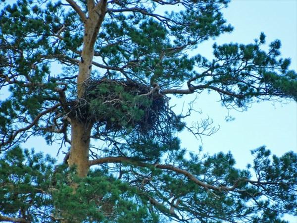 Гнездо ястреба.
