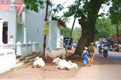 Священные коровы у церкви, почти на проезжей части