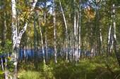 Лес на берегу