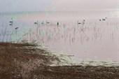 Лебеди на Куршском заливе