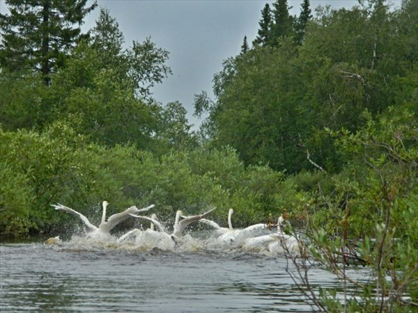 Убегающие лебеди