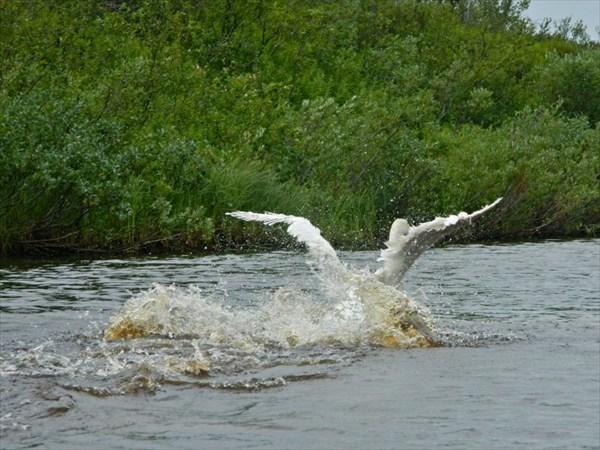 Лебедь линяет и летать сейчас не может