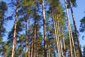Pinetrees-1