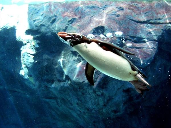 Австралийский пингвин