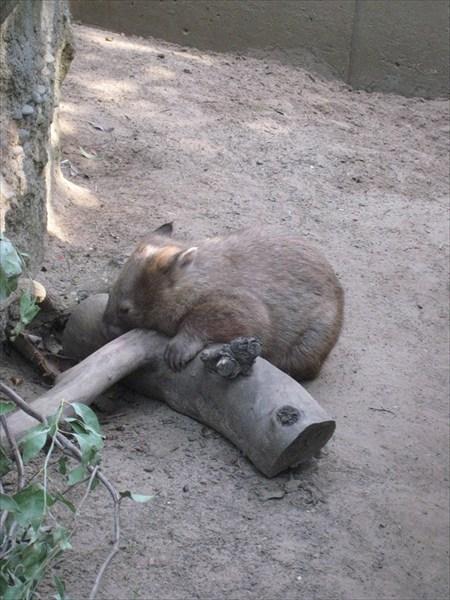 Вамбат. Австралийский сумчатый мишка