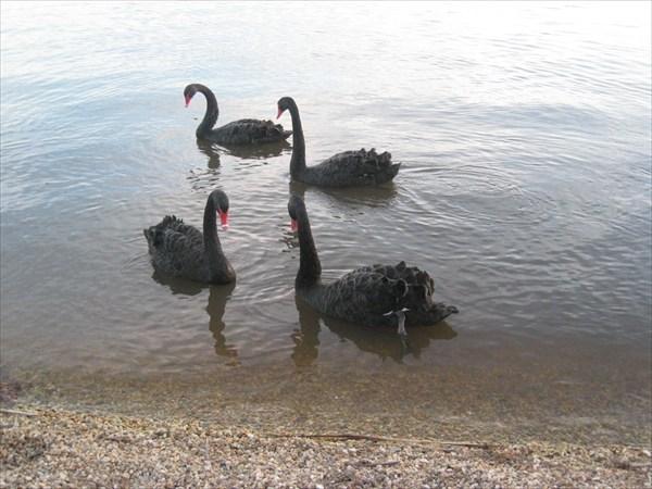 Австралийский черный лебедь