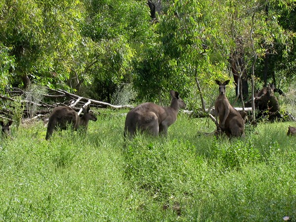 Стадо кенгуру