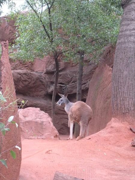 Исполинский рыжий кенгуру