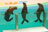Шоу морских котиков