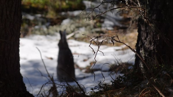 Заяц широкой спиной
