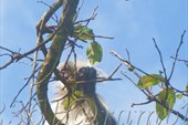 Краснохвостый колобус