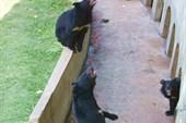 Гималайские мишки