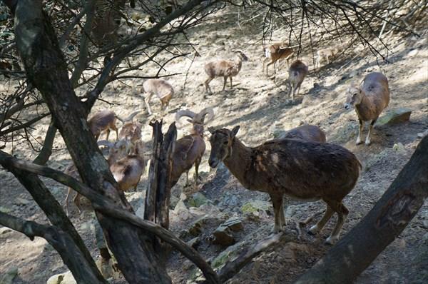 Муфлоны в Ставрос-тис-псокас