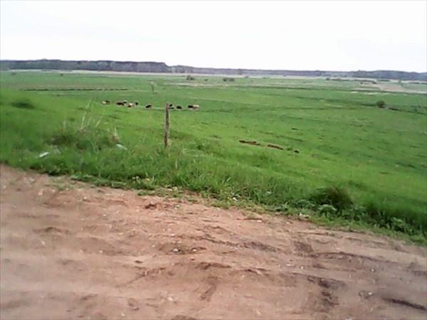 Коровы размером с блоху.
