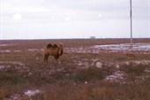 Казахская скотина (домашний скот, в смысле)