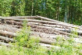 Не вывезенный лес