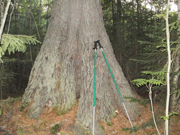 У корней лесного великана