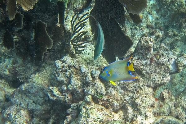 Рыба ангел-королева (Holacanthus ciliaris)