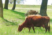 Ахтубинск. Корово в `Питере`