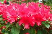 Rhododendron `Bad Eilsen`