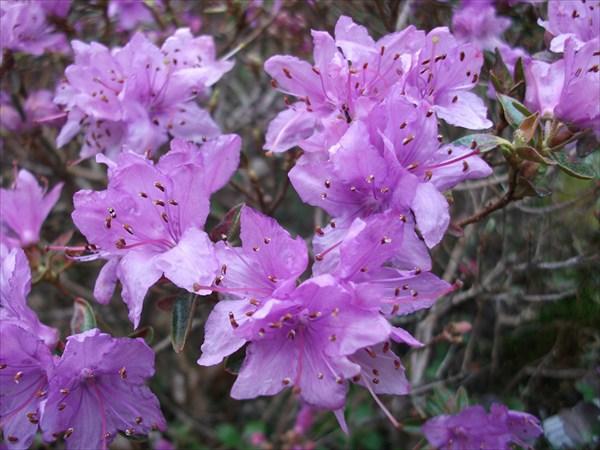Rhododendron dasypetalum