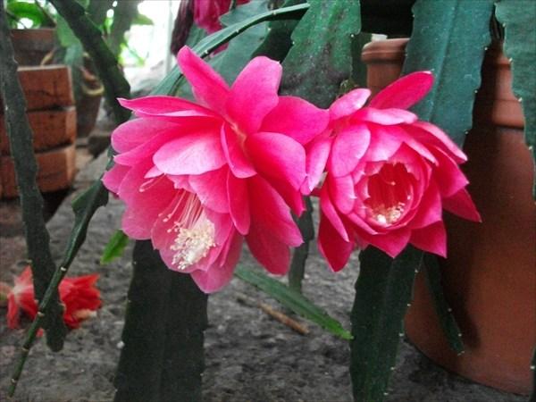 Так цветут листовые кактусы